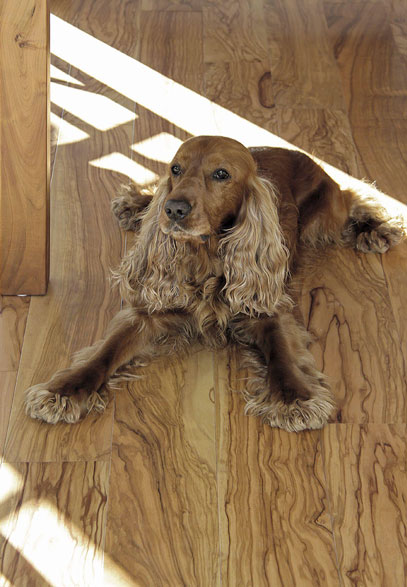 Cocker spaniel sitting on Italian Olive wood flooring | Italian Wide Plank Wood Flooring Tavolato Veneto