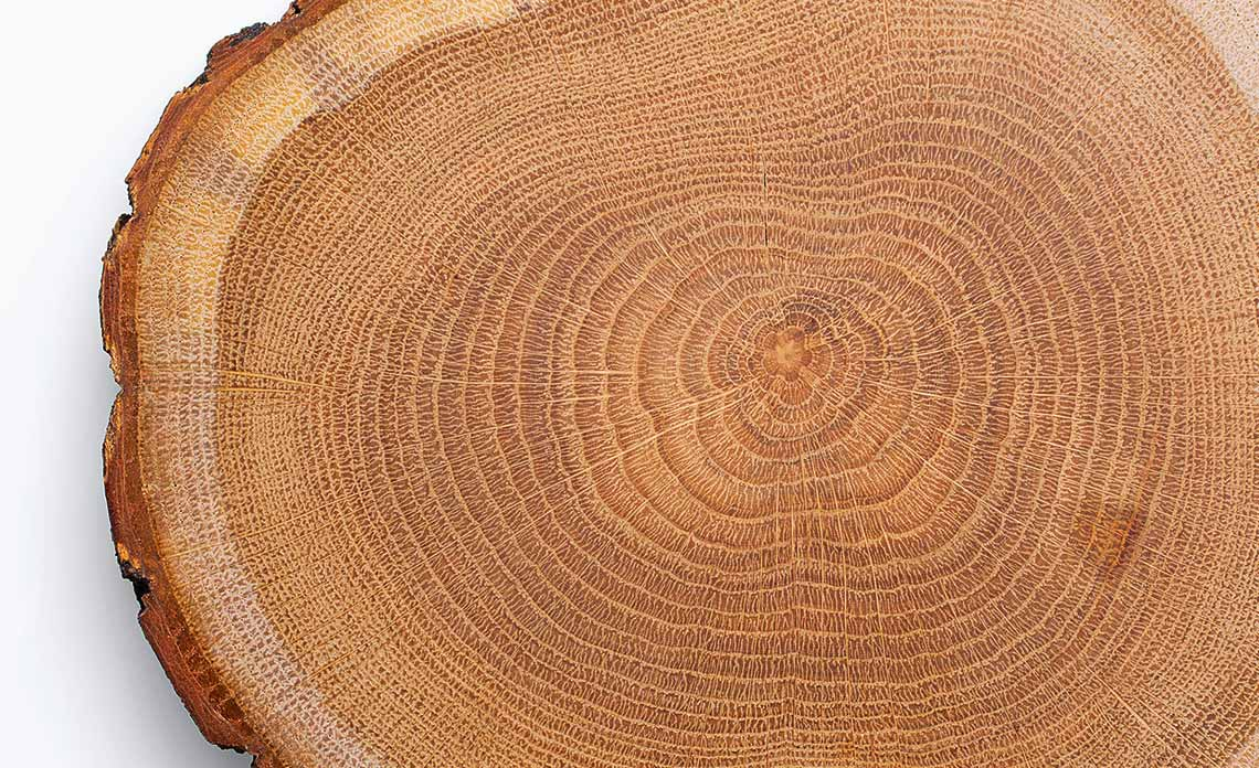Tree Wood Rings showing the Sapwood, Live wood